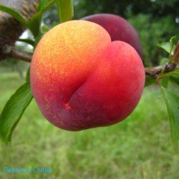 Персик Инка (гибрид персика и сливы)-1