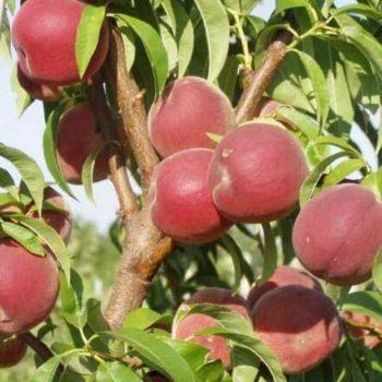 Персик Инка (гибрид персика и сливы)-2