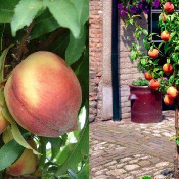 Персик колоновидный Кулон-1