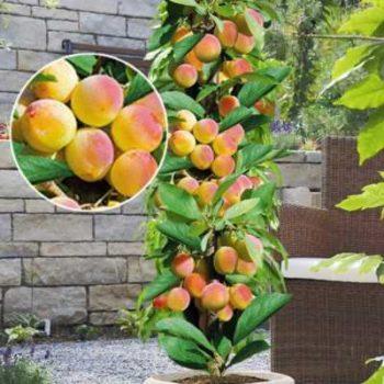 Персик колоновидный Кулон-2