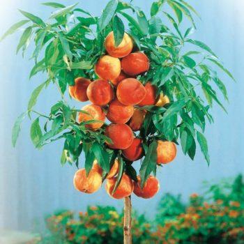 Персик колоновидный Тотем садовода-2