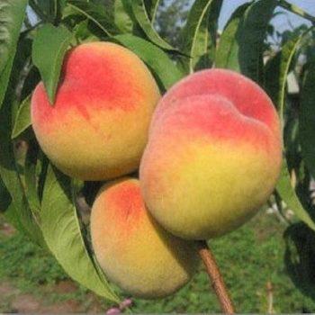 Персик колоновидный Золотой триумф-1