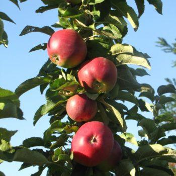 Яблоня колоновидная Пьедестал-1