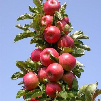 Яблоня колоновидная Пьедестал-2