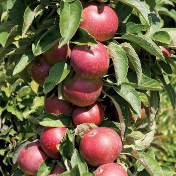 Яблоня колоновидная Есения-1