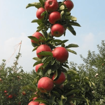 Яблоня колоновидная Есения-2