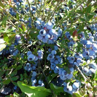 Голубика Нортланд (Northland) низкорослая