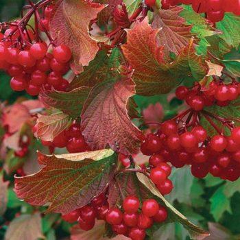 Калина садовая Гранатовый Браслет-2