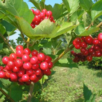 Калина садовая Красная гроздь-2