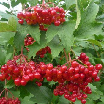 Калина садовая Красная гроздь-1