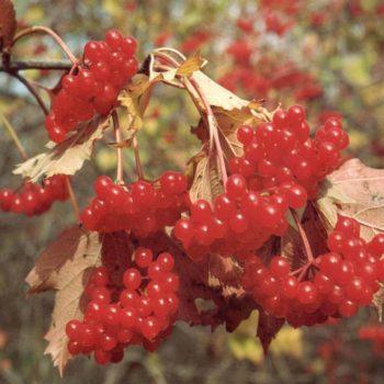 Калина садовая Жалобовская-1