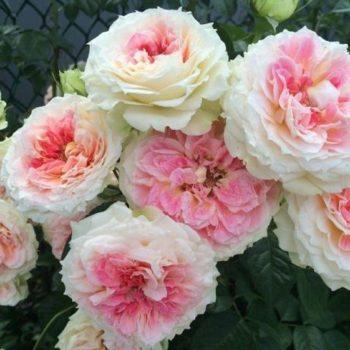 Роза Цезарь-2