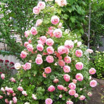 Роза Цезарь-1