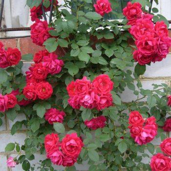 Роза Фламентанц-2