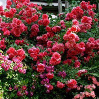 Роза Розариум Ютерсен-2