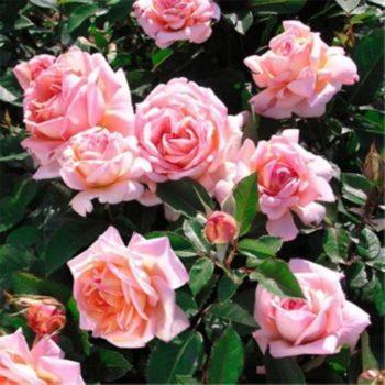 Роза Синьора-2