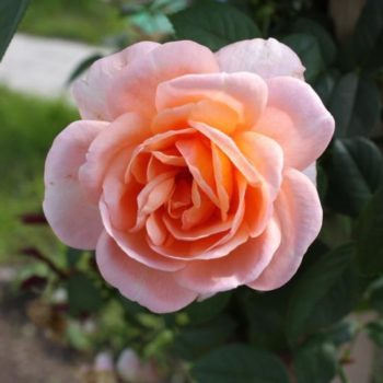 Роза Синьора-1