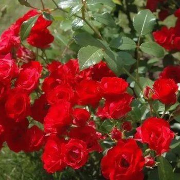 Роза Скарлет О'хара-2