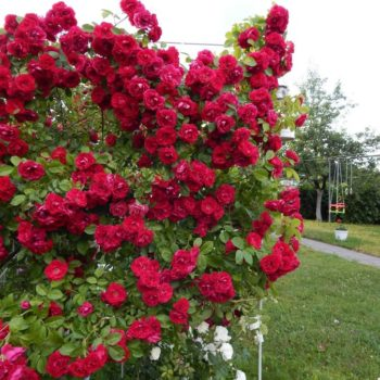 Роза Фламентанц-1