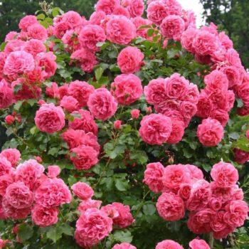 Роза Розариум Ютерсен-1