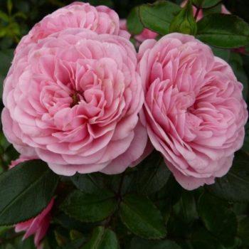 Роза старлет роуз ева-1