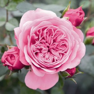 Роза старлет роуз ева