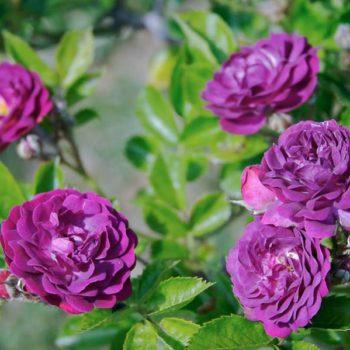 Роза Кардинал де Ришелье-2