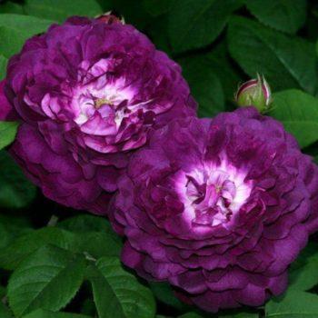 Роза Кардинал де Ришелье-1