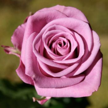 Роза Кул Ватер-1