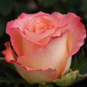 Роза Дуэт-2