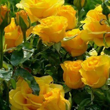Роза Керио-2