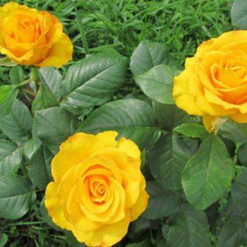 Роза Керио-1