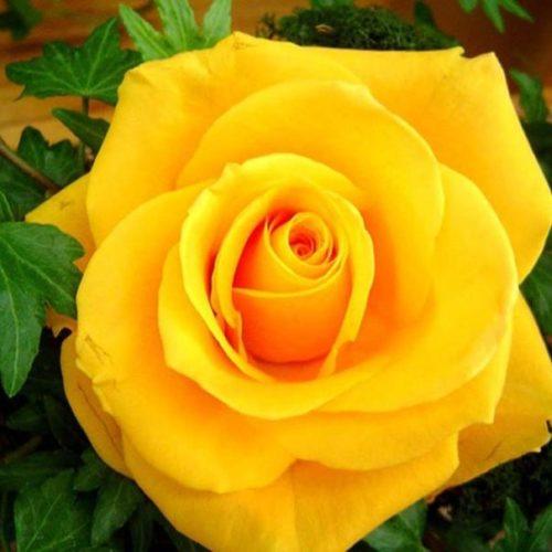 Роза Керн