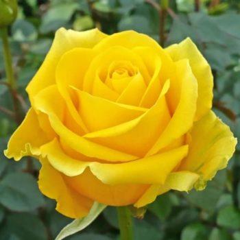 Роза Керн-2