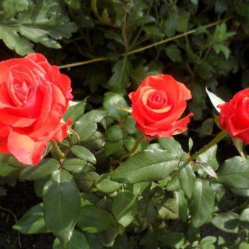 Роза Корвет-2