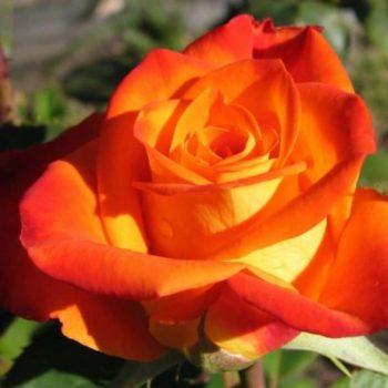 Роза Ксюша-2