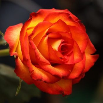 Роза Ксюша-1