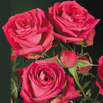 Роза Амалия-1