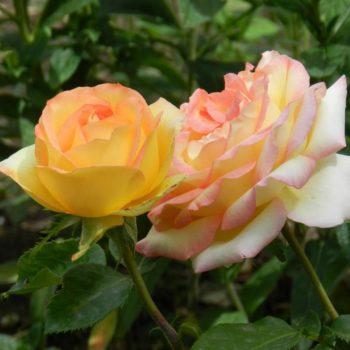 Роза Амбианс-1