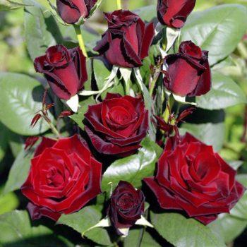 Роза Американ Прайд-2