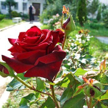 Роза Американ Прайд-1