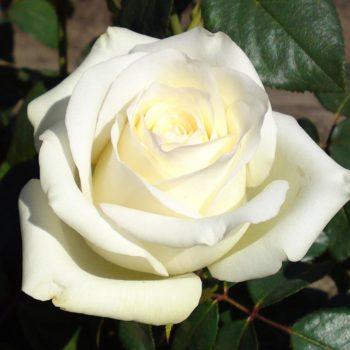 Роза Анастасия-2