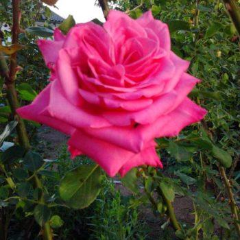 Роза Балет-2