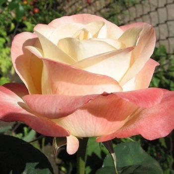 Роза Белла Перл-1
