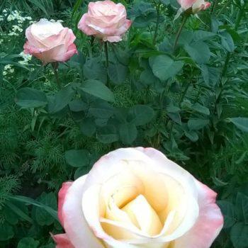 Роза Белла Перл-2