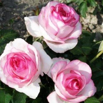 Роза Белла Вита-2