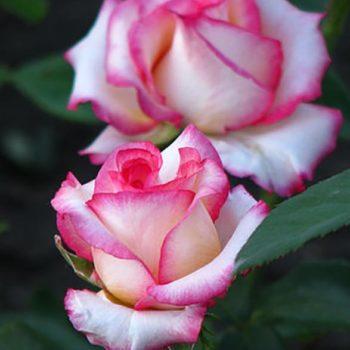 Роза Белла Вита-1