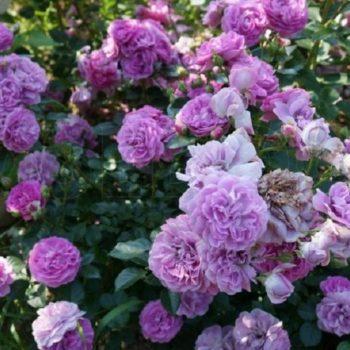 Роза Блю Бой-2