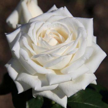 Роза Боинг-2