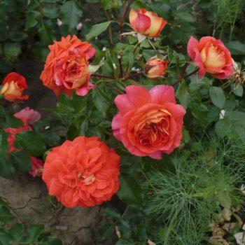 Роза Братья Гримм-2